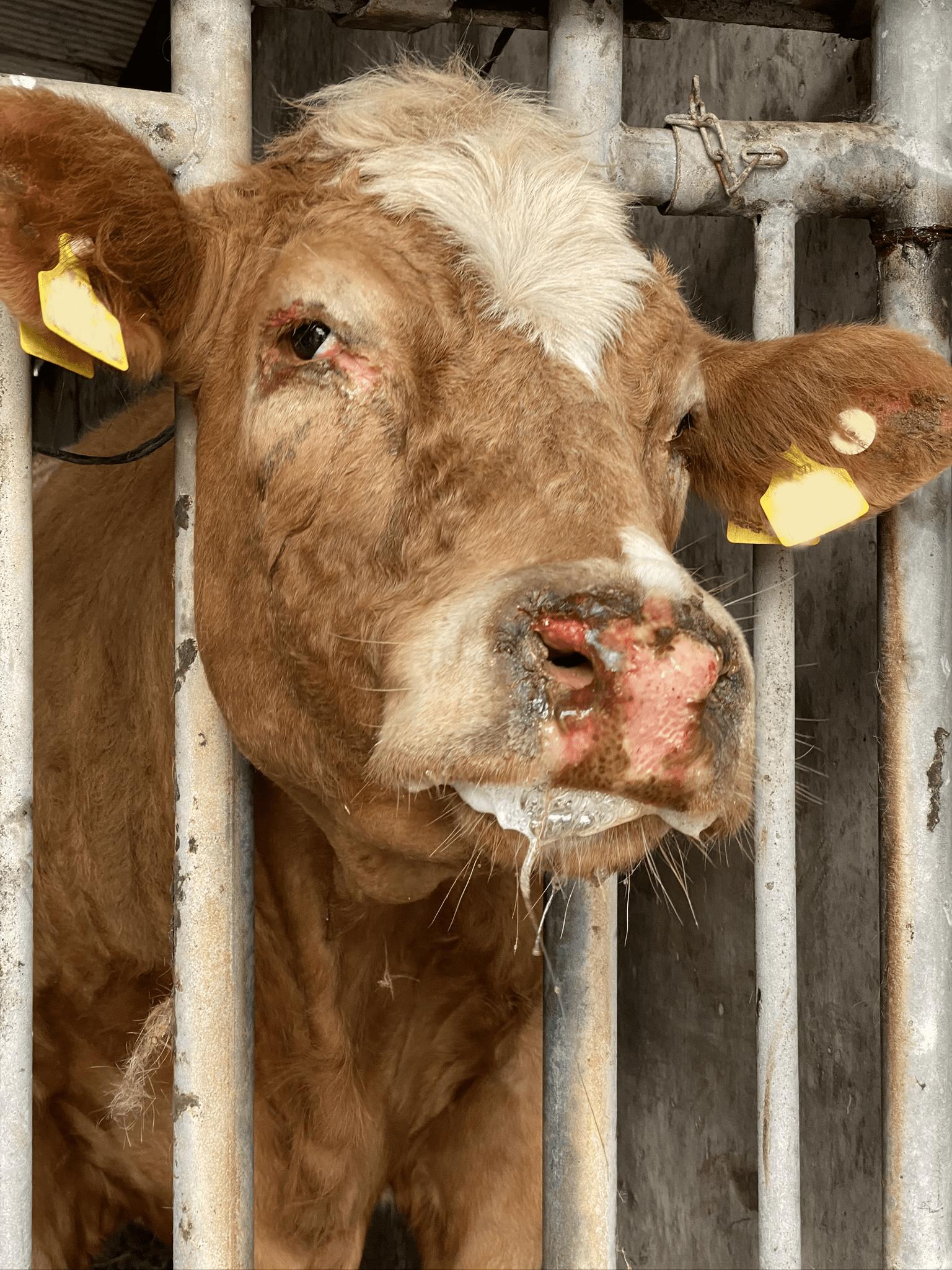 Photosensitisation in Cattle